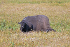 Bison Buffalo Cow and calf in Pelican Creek grassland in Yellowstone National Park in Wyoming. USA Stock Images