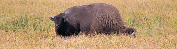 Bison Buffalo Cow and calf in Pelican Creek grassland in Yellowstone National Park in Wyoming. USA Royalty Free Stock Image