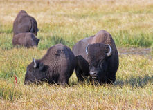 Bison Buffalo Cow and calf in Pelican Creek grassland in Yellowstone National Park in Wyoming. USA Stock Image