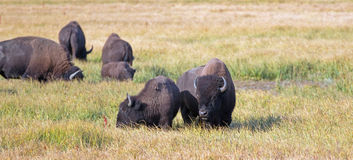 Bison Buffalo Cow and calf in Pelican Creek grassland in Yellowstone National Park in Wyoming. USA Royalty Free Stock Photos