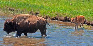 Bison Buffalo Cow crossing river with Calf in Yellowstone National Park Stock Photography