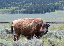 Bison Buffalo Cow in Lamar Valley in Yellowstone Nationalpark in Wyoming USA Stockfoto