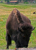 Bison Buffalo Cow med det röda ögat i Custer State Park fotografering för bildbyråer