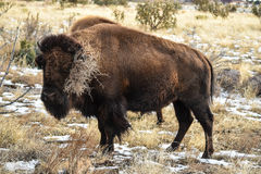 Bison Buffalo Cow Tumbleweed. Buffalo bison cow carries a tumbleweed on her horn after rolling in the dirt Stock Image