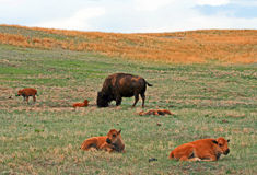 Free Bison Buffalo Cow With Baby Caves In Custer State Park Royalty Free Stock Photo - 68408225