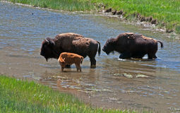 Bison Buffalo Cows con il vitello nel parco nazionale di Yellowstone nel Wyoming U.S.A. Immagine Stock Libera da Diritti