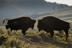 Bison Buffalo family sunset silhouette Royalty Free Stock Photos