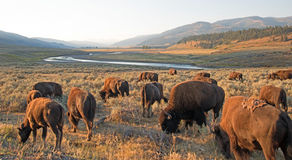 Bison Buffalo flock i ottaljus i Lamar Valley av den Yellowstone nationalparken i Wyoiming arkivfoton