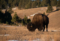 Bison buffalo grazing on snowy hillside Stock Photos