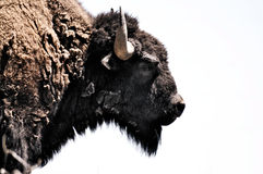 Bison Buffalo Head Profile. Profile photo of a Bison Buffalo head on a white background Royalty Free Stock Images