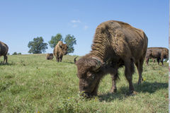 American Bison Buffalo Herd & Blue Sky Stock Images