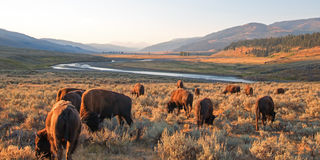 Bison Buffalo herd in early morning light in the Lamar Valley of Yellowstone National Park in Wyoiming. USA Stock Images