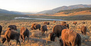 Bison Buffalo herd in early morning light in the Lamar Valley of Yellowstone National Park in Wyoiming. USA Stock Image