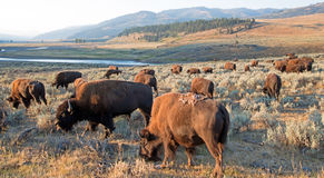 Bison Buffalo herd in early morning light in the Lamar Valley of Yellowstone National Park in Wyoiming. USA Royalty Free Stock Image