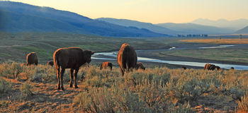 Bison Buffalo herd in early morning light in the Lamar Valley of Yellowstone National Park in Wyoiming. USA Royalty Free Stock Photo