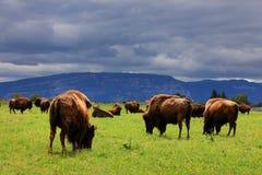 Bison Buffalo Herd - fondo tempestoso delle nuvole Fotografia Stock Libera da Diritti