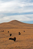 Bison Buffalo Herd i Custer State Park arkivbilder