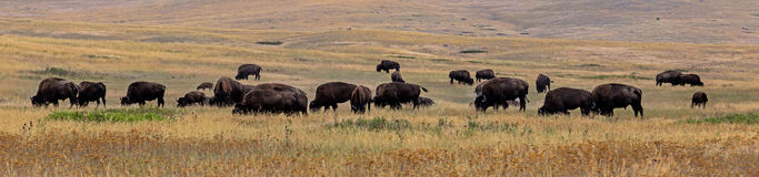 Bison (Buffalo) Herd. This image shows a small buffalo herd grazing at the National Bison Range in NW Montana royalty free stock photography