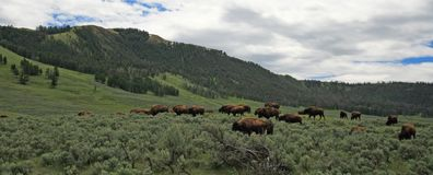 Bison / Buffalo Herd in the Larmar Valley in Yellowstone National Park in Wyoming USA. Bison / Buffalo Herd in the Larmar Valley in Yellowstone National Park in royalty free stock photo