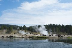 Bison buffalo herd at Yellowstone. Buffalo bison herd milling around white geyser beside the river at Yellowstone National Park in Wyoming, USA stock photos