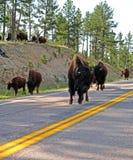 Bison Buffalo-Herde, welche die Straße in Custer State Park blockiert stockbilder