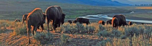 Bison Buffalo-kudde in vroeg ochtendlicht in Lamar Valley van het Nationale Park van Yellowstone in Wyoiming stock foto's