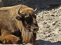 Bison Buffalo Lying su una terra e su un rilassamento della sporcizia fotografia stock