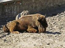 Bison Buffalo Lying sur un au sol et une détente de saleté photographie stock libre de droits