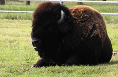 Bison. Buffalo nikon color Stock Photo