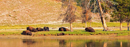 Bison Buffalo pair by Yellowstone River in Yellowstone National Park in Wyoming. USA Royalty Free Stock Photos