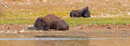 Bison Buffalo pair by Yellowstone River in Yellowstone National Park in Wyoming. USA Stock Photos