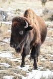 Bison Buffalo-Schnee Stockbilder