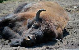 Bison Buffalo sleeping in the sunshine Stock Image
