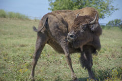 American Bison Buffalo Swatting Flies Stock Photography