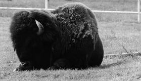 Bison. Buffalo Texas sitting black and white nikon Stock Photos