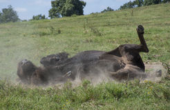 American Bison Buffalo Wallowing on Back royalty free stock image