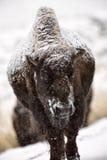 Bison Buffalo Wyoming Yellowstone. USA Stock Images