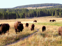 Bison (Buffalo) at Yellowstone 1. A herd of bison at Yellowstone National Park Stock Images