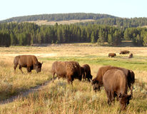 Bison (Buffalo) at Yellowstone 2. A herd of bison (buffalo) at Yellowstone National Park Royalty Free Stock Photography
