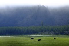 Bison Buffalo in Yellowstone During a Rainstorm Raining royalty free stock photos