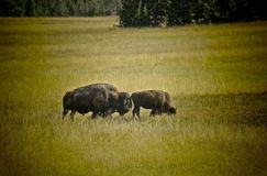 Bison Buffalo Yellowstone National Park Stock Images