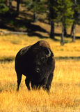 Bison Bull. A bison bull in early morning light in meadow Stock Images
