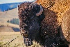 Bison Bull immagini stock libere da diritti