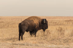 Bison Bull Photographie stock