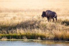 Bison Bull Stockfoto