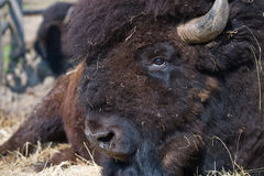Bison Bull Royalty Free Stock Image