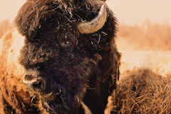 Bison Bull Royalty Free Stock Photos