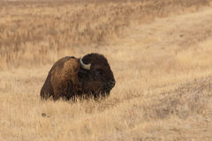 Bison Bull Bedded Stockfotos