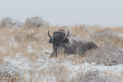 Bison Bull Bedded in snowstorm Stock Image