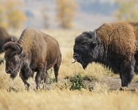 Bison bull with his tongue stuck out. Bison bull checking the air for pheromones Grand Teton National Park, Wyoming, USA royalty free stock image